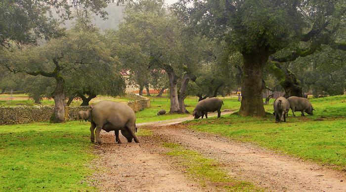 Черные иберийские свиньи
