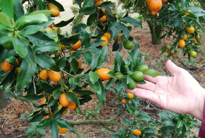 Кумкват растет на вечнозеленых цитрусовых деревьях
