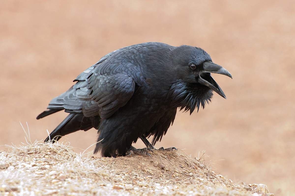 К чему каркает ворона: хорошая примета или плохая