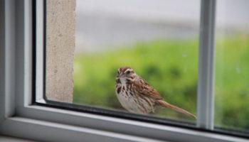 К чему в окно бьется птица: к дурным или добрым новостям