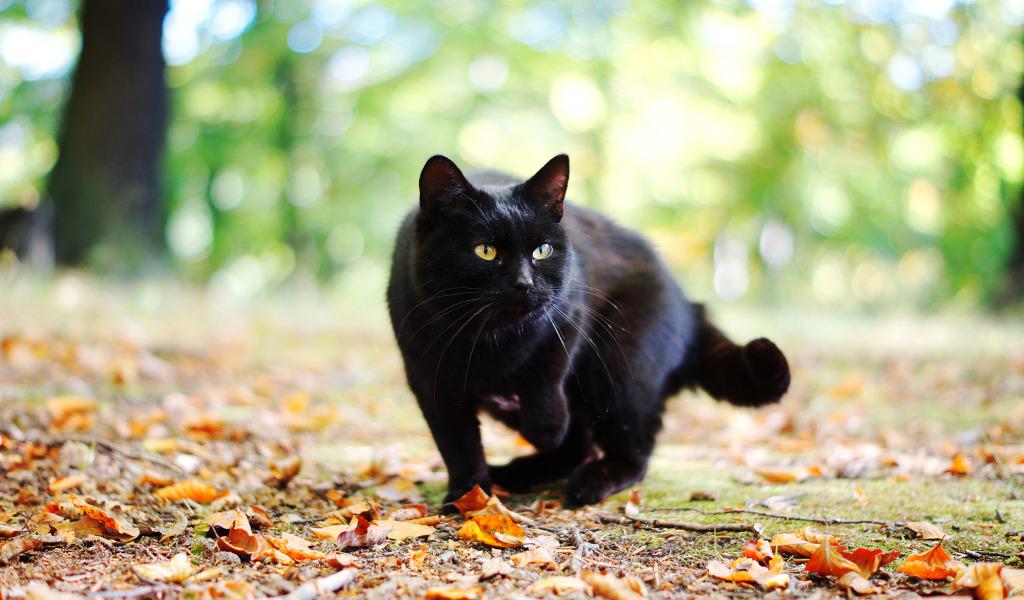 Народные приметы и поверья о черных кошках