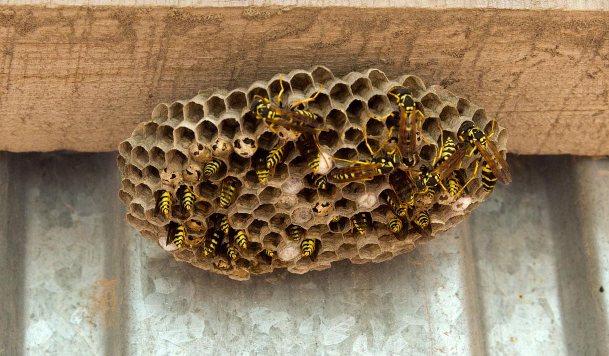 Что говорят приметы, если осы свили гнездо на балконе или в квартире