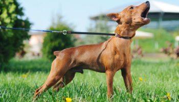 """Гид по «собачьему» языку: что означает собачий лай по народным приметам и как научиться его """"понимать"""""""