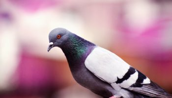 Увидели голубя во сне: какие перемены ждут вас в жизни и что сулит такой сон